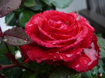 Роза после дождя