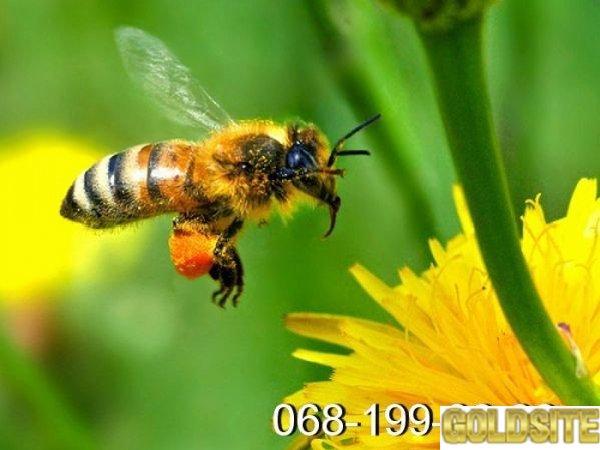 Пчёлы.   Пчелопакеты.   Пчелиные плодные матки.   Карпатка.