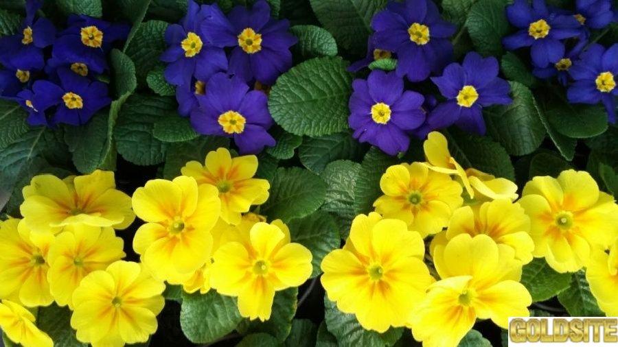 Примула,  цена,  купить,  цветок,  цветы на 8 марта,  оптом,  продажа,  фото,  Киев !