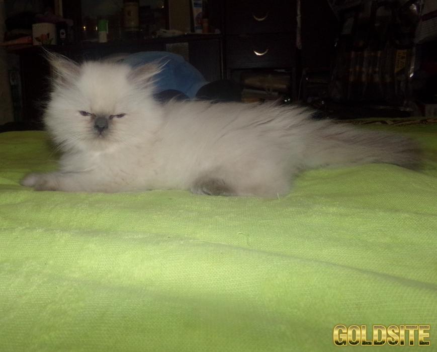 Котёнок Рэгдолл.    3 месяца.    Мальчик окраса блюпонт
