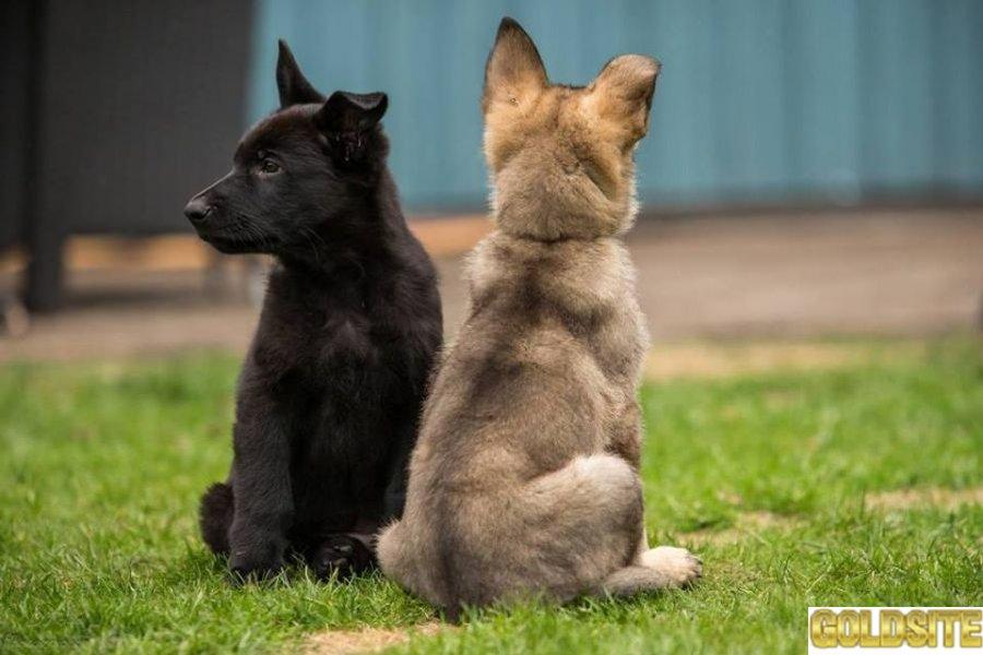 породистые щенки немецких овчарок