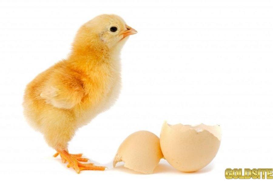 Яйцо инкубационное