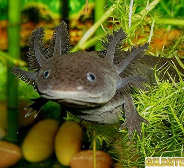Серый аквариумный дракон - аксолотль!   Доставка по Украине!