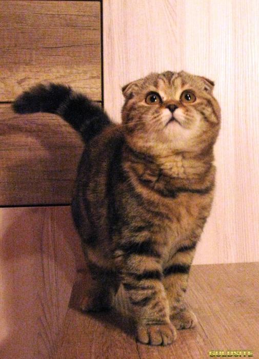 Шотландские котята (скоттиш фолд)