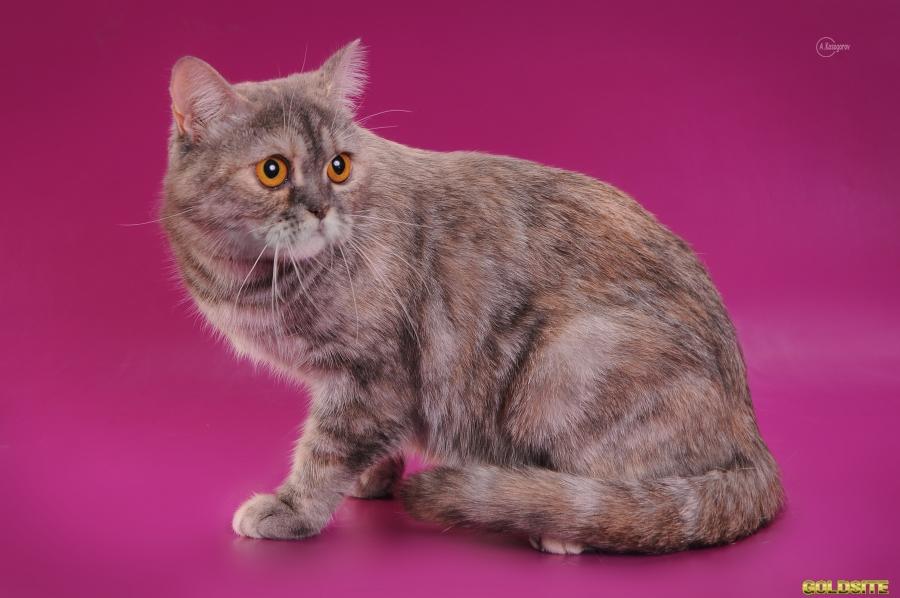 Шотландские котята (скоттиш страйт)