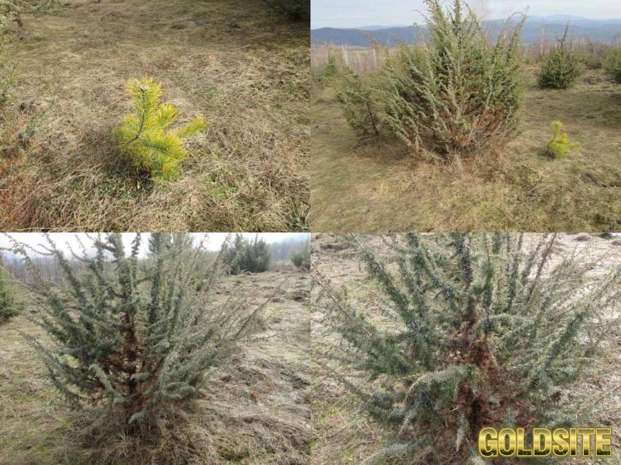 Саженцы можжевельник съедобный,  Juniperus,  верес обыкновенный,  куст,  дерево под заказ.