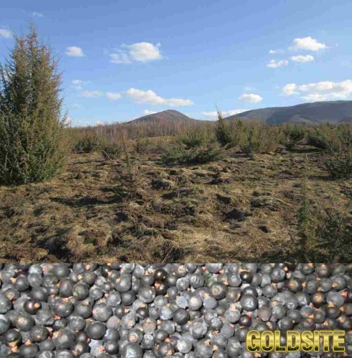 Специя можжевельник дикорос,  верес,  Juniperus.