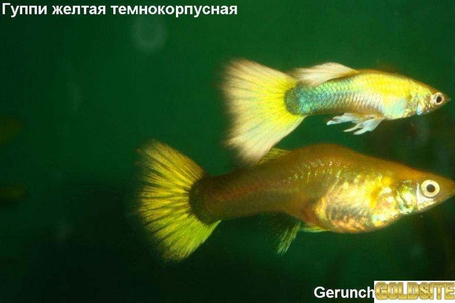 Мирные аквариумные рыбки